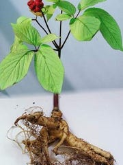 "Ginseng is sometimes known as ""man root"" for its oddly shaped root system."