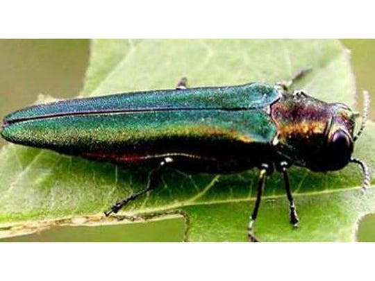 The emerald ash borer is a beetle that can destroy