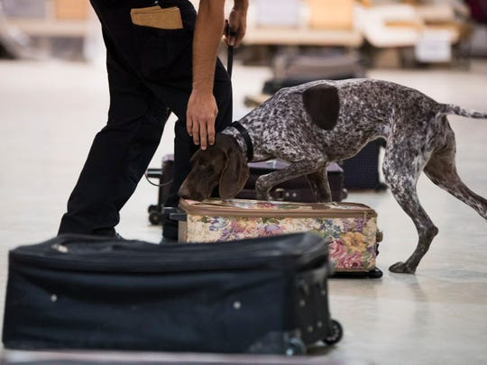 Ryan Berg of San Diego Transit Enforcement trains with Aska, a German short-haired pointer, to find explosives in luggage at the Transportation Security Administration's National Canine Training Center in San Antonio on Sept. 13, 2017.