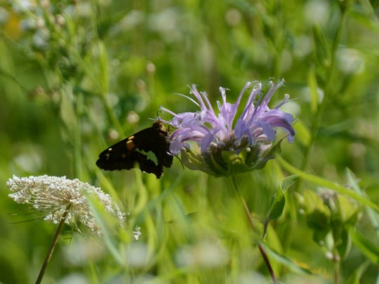Bees, butterflies, birds and other pollinators have a new home in Union County's Watchung Reservation, where an open field was recently replanted with native wildflowers and transformed into a flourishing habitat.