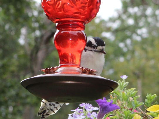 A downy woodpecker sips at a feeder in Oakland.