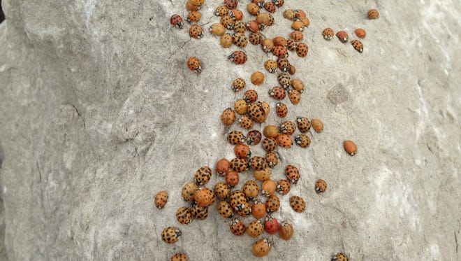 A swarm of lady beetles clusters on a rock along the Blue Water River Walk.