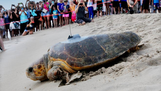 Dash the ioggerhead turtle makes her way out to the Atlantic Ocean as over a Thousands people look on  early  Sunday morning for the 8th annual Tour De Turtles held at the Barrier Island Sanctuary, Archie Carr National Wildlife Refuge in South Melbourne Beach .