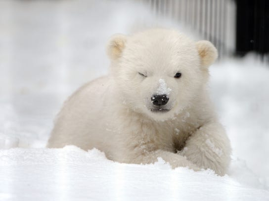 AP_Orphaned_Polar_Bear_Cub