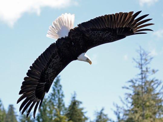Bald-Eagle-BEST-13-EDIT-A.jpg