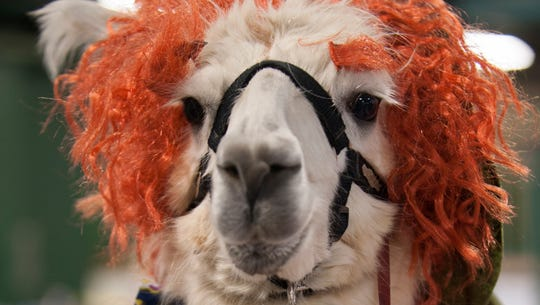 Ann Arbor resident Ginger Burns' llama Darling Dot