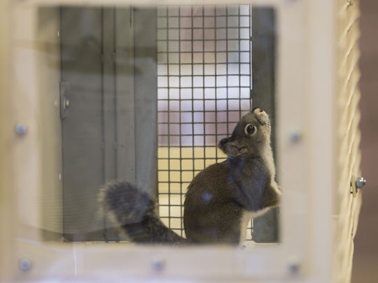 A captive Mt. Graham red squirrels sits in an enclosure at the Phoenix Zoo, where it is part of a project to breed the imperiled species, with an eye toward returning some to the wild.