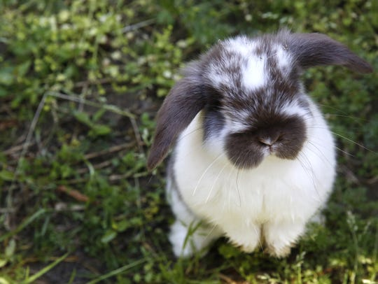 A young Holland lop rabbit at BunnyLops rabbitry in