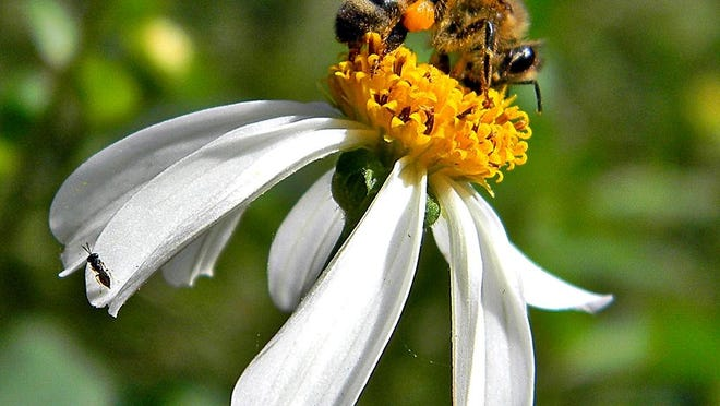 Honey Bee Foraging: A Western honey bee (Apis mellifera) forages intently upon Spanish needle, as a tiny micro bee (or wasp?) waits her turn. The orange mass on the bee's hind leg is her pollen basket.