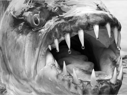 0314-hv--goliath-fish.jpg