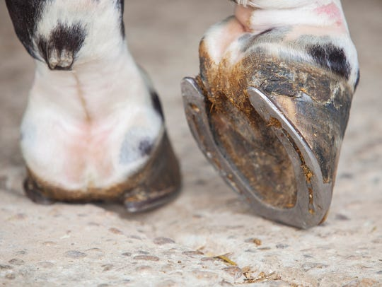 Detailed view of horse foot hoof outside stables.