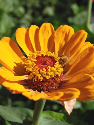 Composit flowers with tight centers, such as this zinnia, can be pulled apart for seed extraction.