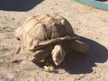 Huge non-native tortoise found wandering Coachella Valley