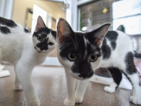 Two black and white patched short haired cats inside