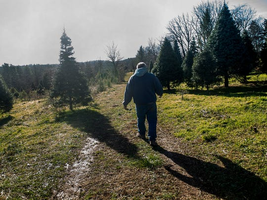 """Michael Breighner of Breighner Tree Farm on Storms Store Road in Gettysburg walks through one of the farm's groves of trees on Dec. 20, 2015. Breighner said the warm weather has ben """"so good"""" for a business like his that allows customers to cut their own trees."""