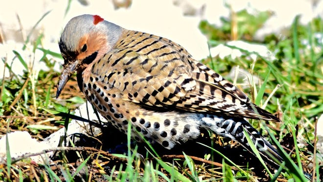 The northern flicker is our only local woodpecker that commonly feeds on the ground.