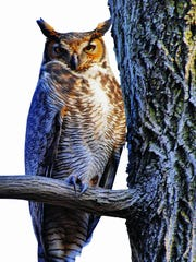 The Great Horned owl is one of the most prevalent owl species in New Jersey.
