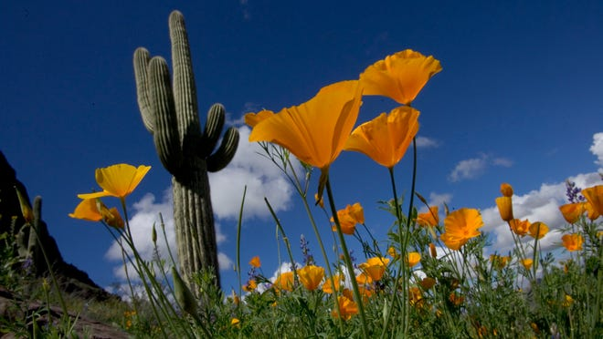 Mexican poppies frame saguaro at Picacho Peak State Park, about 80 miles southeast of Phoenix.
