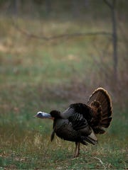 The National Wild Turkey Federation is advocating for more young forest in the Nantahala and Pisgah National Forests Plan Revision.