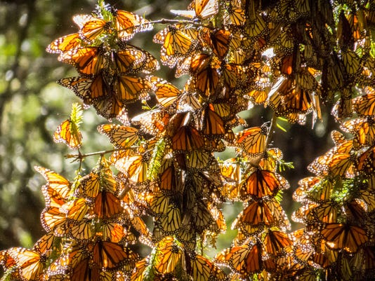 Monarch Butterflies on tree branch in Michoacan, Mexico