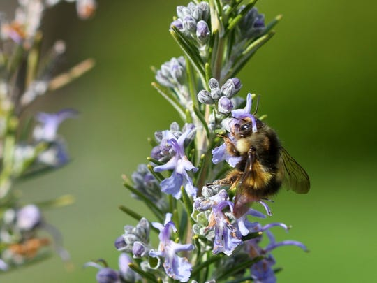 A bumble bee searches for nectar from a Rosemary plant near Langley, Wash. Honeybees are irreplaceable as pollinators but you can somewhat offset their loss by attracting beetles, butterflies and moths, dragonflies, feral bees, bumblebees and wasps, among others.