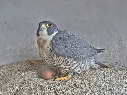 636582768537270475-Falcon-with-two-eggs-April-2-2018.JPG