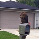 A monkey that escaped its owner's home sits on top of a mailbox after police responded to a call that the monkey was eating mail out of the box in Sanford, Fla.