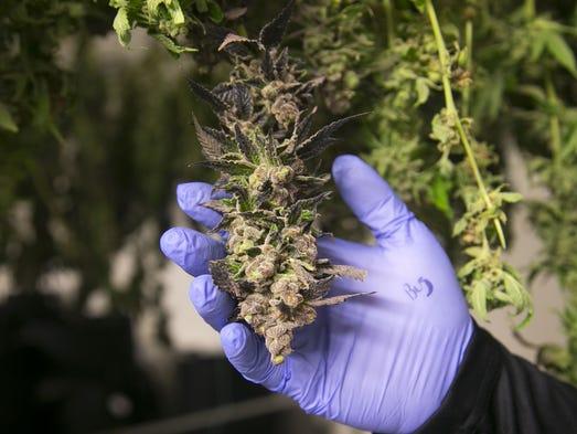 Marijuana is seen at the True Harvest growing facility