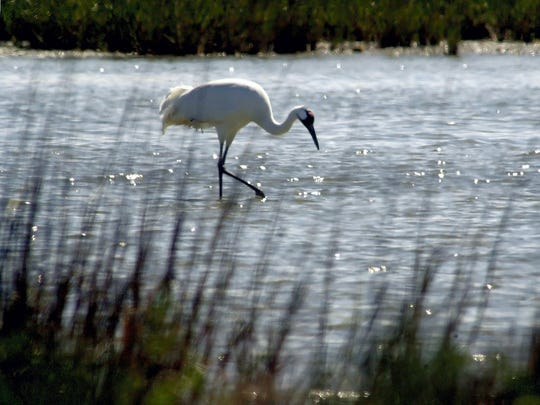 Port Aransas will celebrate its 21st annual Whooping Crane Festival from Thursday through Saturday.
