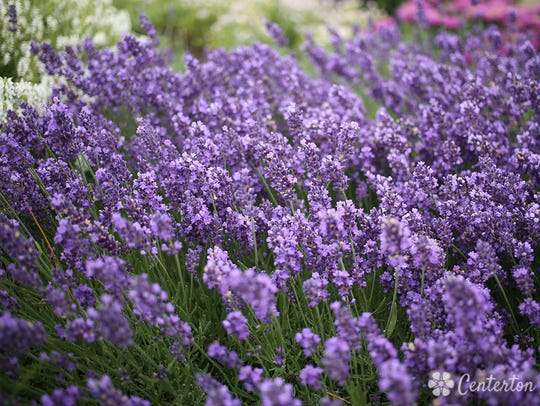 Peaceful Acres Lavender Farm in Martinsville hosts a Summer Solstice Lavender Festival this weekend.