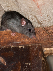 Terminix named Memphis the second most roof rat infested city in 2017.