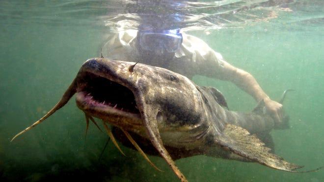 UNR researcher Zeb Hogan studies the world's largest freshwater fish.
