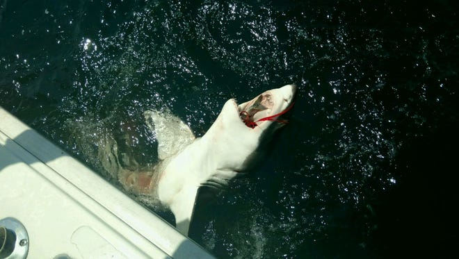 Over-Board, a fishing boat from Ocean City, caught and released a Great White Shark on Saturday. The crew estimated the shark was about seven feet long and 150 pounds.