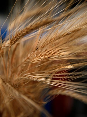 Barley is categorized partly by the number of seed rows in the head. Traditionally, two-row barley such as this was considered better for brewing,  and the Hawleys use it.
