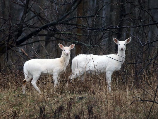 Seneca white deer, which are not albinos, have been