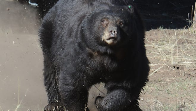Officials with the U.S. Forest Service are asking visitors to the popular Taylor Creek Visitor Center in South Lake Tahoe, Nev., to refrain from attempting to take selfies with bears.