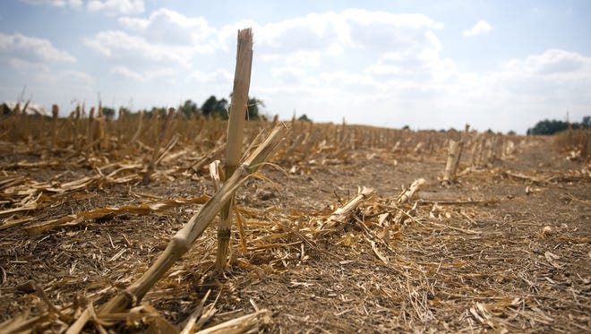 Corn field in drought conditions