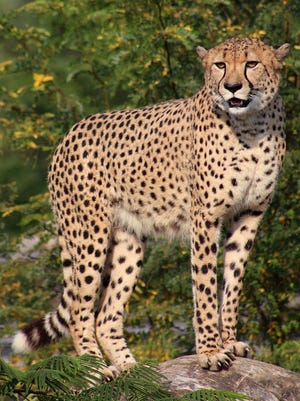 Pounce, the 4-year-old cheetah who escaped his primary enclosure at the Indianapolis Zoo Sunday afternoon, prompted a Code Red.