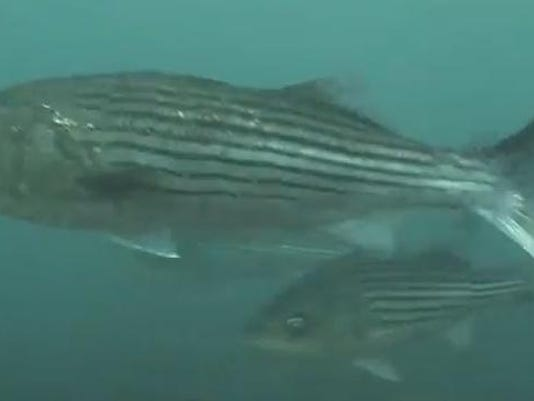 striped bass.PNG