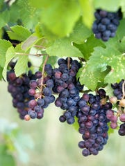 Pinot Noir grapes grow at Rooster Hill Vineyards in
