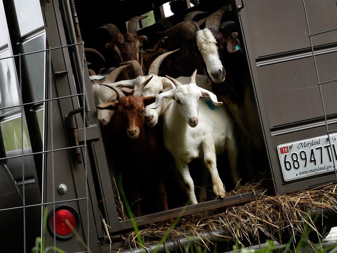 Goats enter a plot of land to begin the process of clearing land adjacent to the historic Congressional Cemetery on Aug. 7.