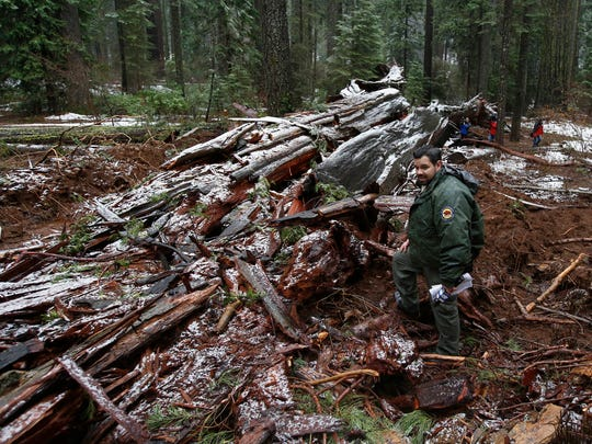 "California State Parks Supervising Ranger Tony Tealdi looks over the fallen Pioneer Cabin Tree at Calaveras Big Trees State Park Monday, Jan. 9, 2017, in Arnold, Calif. Famous for a ""drive-thru"" hole carved into its trunk, the giant sequoia was toppled over by a massive storm Sunday. (AP Photo/Rich Pedroncelli)"