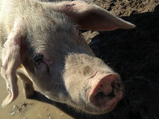 Pillow, an over 400-pound pig, will not become bacon but has delivered two litters of 14 piglets per year.