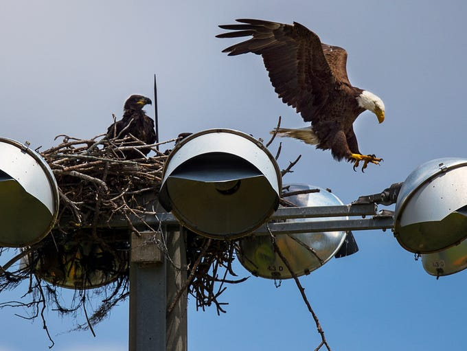A bald eagle lands atop its new nest as it prepares