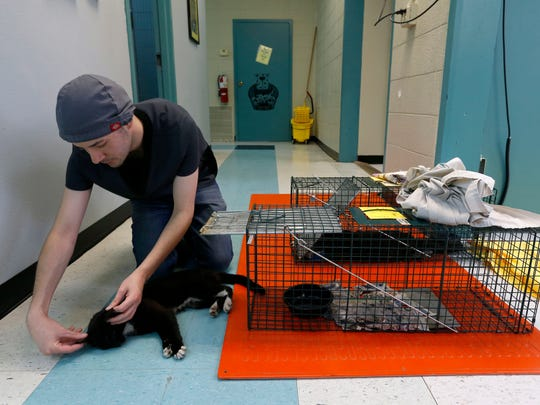 In this file photo, veterinary assistant Jon Latta checks on a feral cat before it is neutered at the Springfield Animal Advocacy Foundation (SAAFE House).