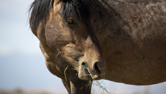 A horse eats hay left by volunteers at the Gray Mountain Windmill, north of Flagstaff.