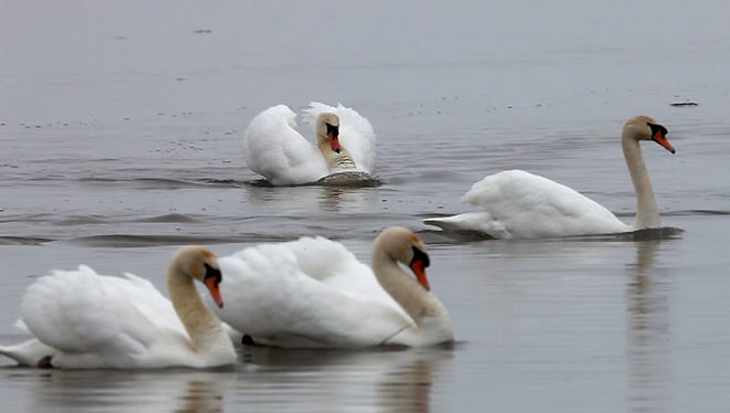 Mute swans, such as these on Braddock Bay, are being targeted for removal as an invasive species.