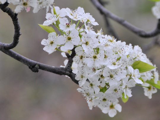 Flowering pear trees in Jefferson Township in spring.