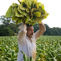 A Mexican migrant worker carries flue-cured tobacco leaves during harvest on a farm operated by Eaton Farms in Guilford County, N.C., on Aug. 4, 2009.