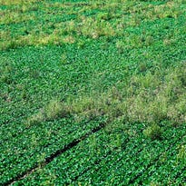 Weed killer causes agriculture war